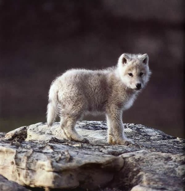 Majestic Gray Wolf Pictures (10)