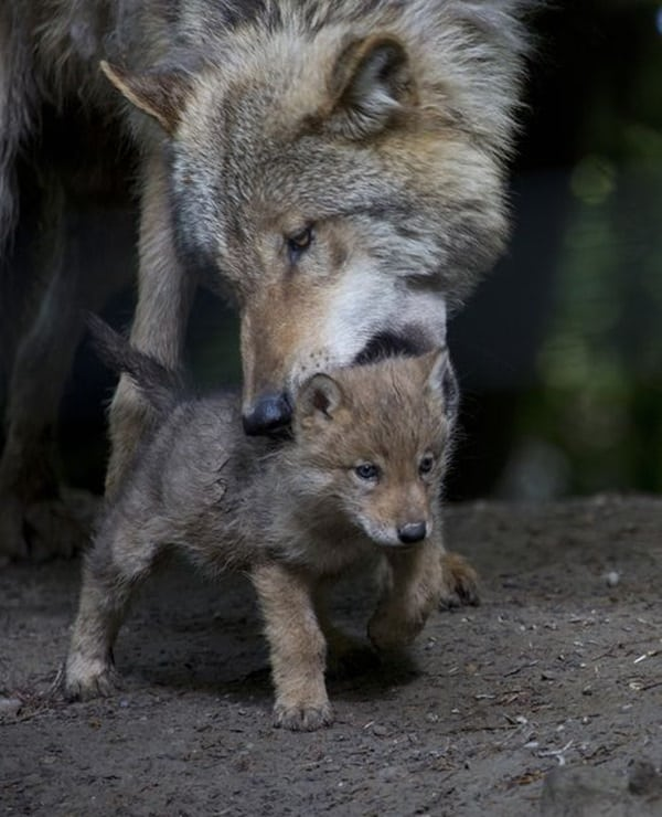 Majestic Gray Wolf Pictures (11)