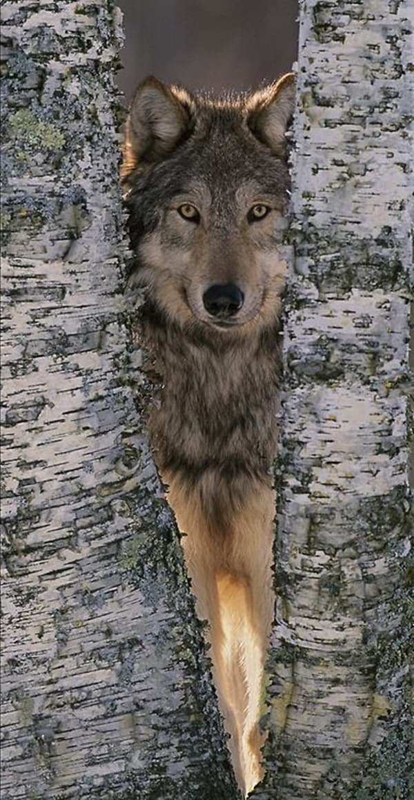 Majestic Gray Wolf Pictures (12)