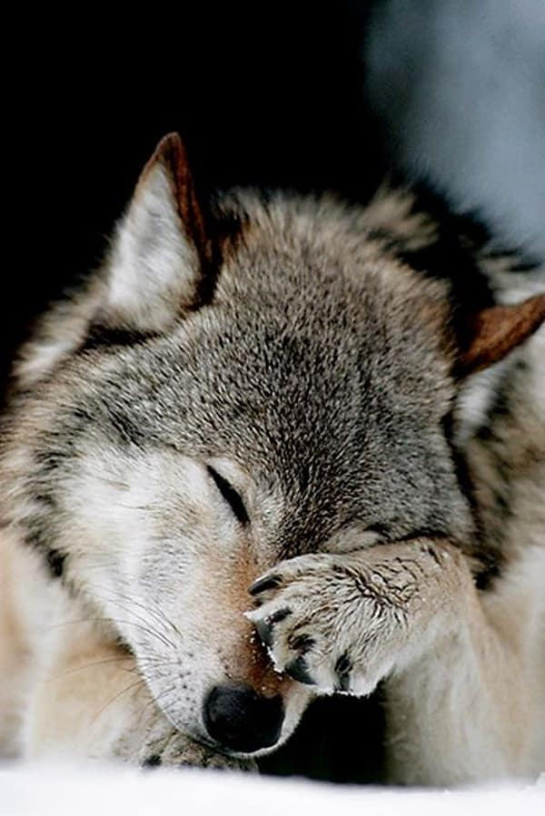 Majestic Gray Wolf Pictures (14)