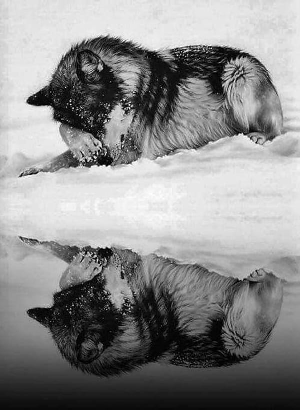 Majestic Gray Wolf Pictures (15)