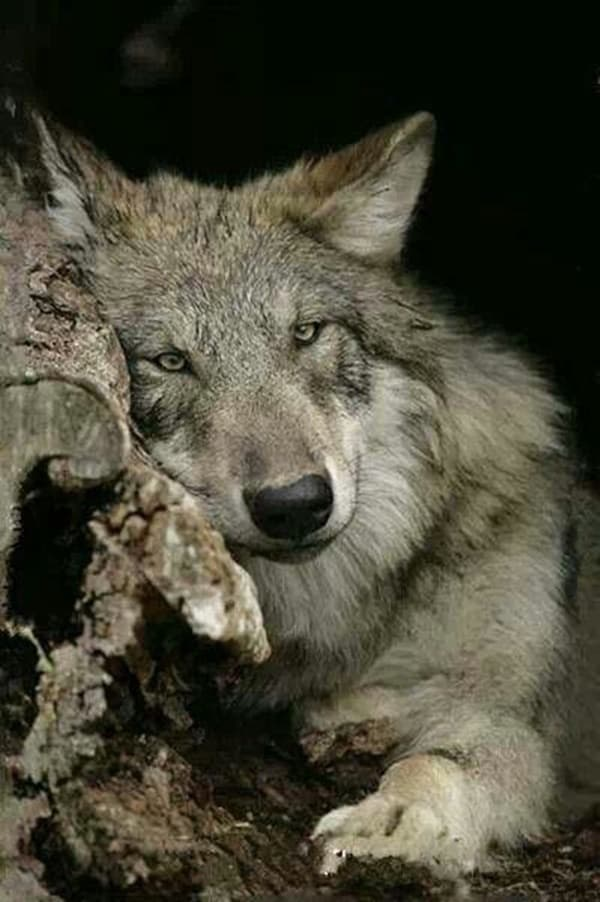 Majestic Gray Wolf Pictures (16)