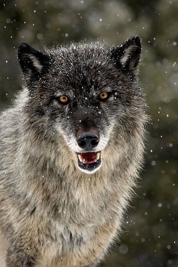 Majestic Gray Wolf Pictures (17)