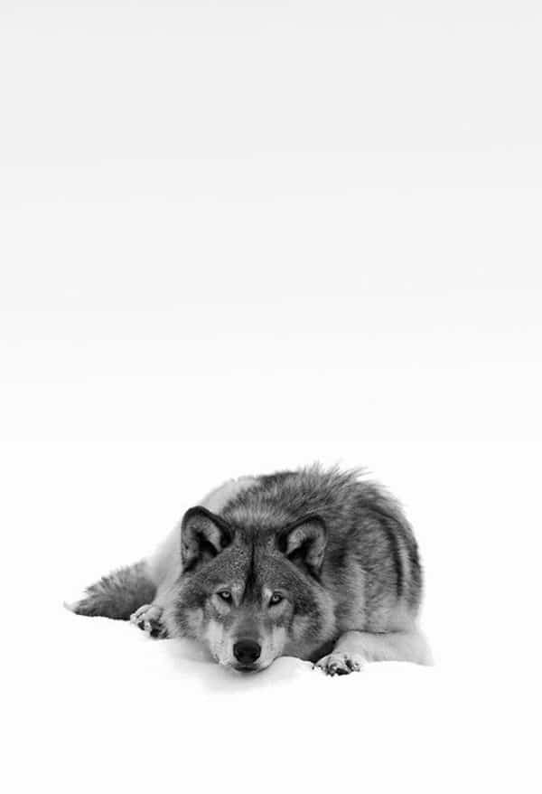 Majestic Gray Wolf Pictures (19)
