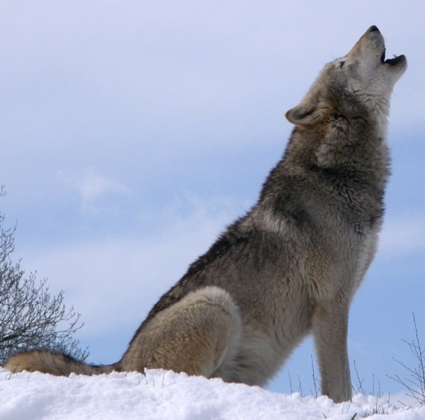 Majestic Gray Wolf Pictures (2)