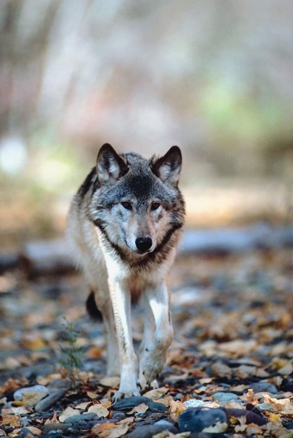 Majestic Gray Wolf Pictures (20)