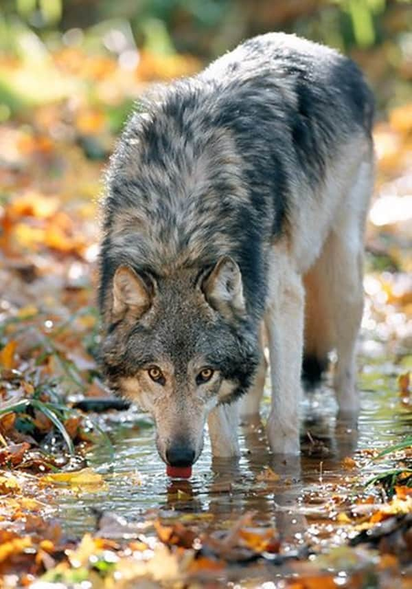 Majestic Gray Wolf Pictures (21)
