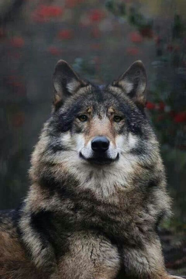 Majestic Gray Wolf Pictures (22)