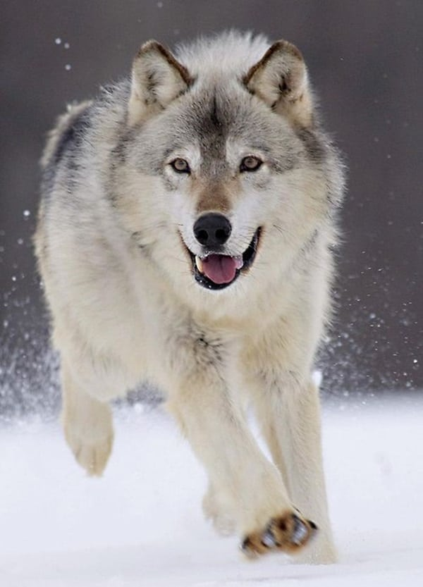 Majestic Gray Wolf Pictures (23)