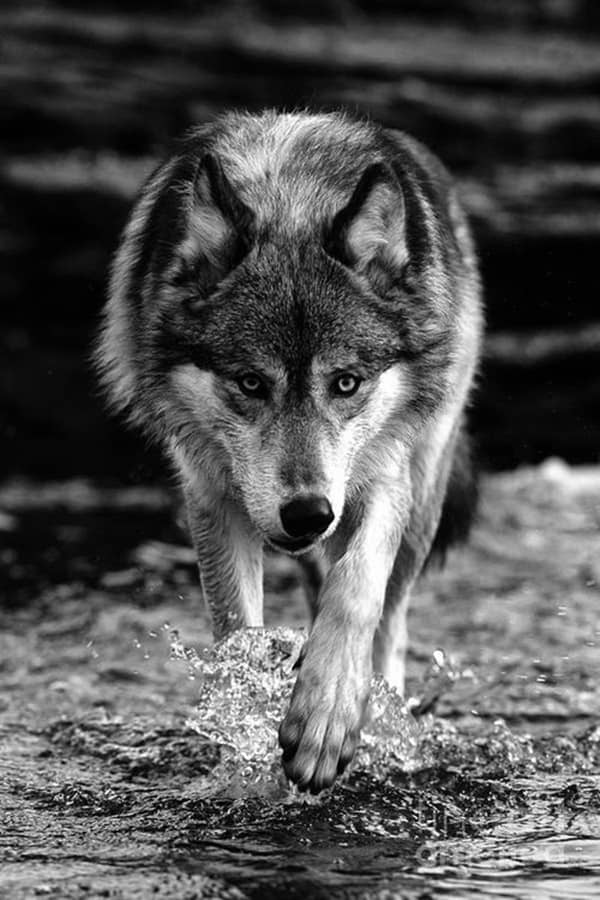 Majestic Gray Wolf Pictures (24)