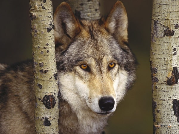 Majestic Gray Wolf Pictures (28)