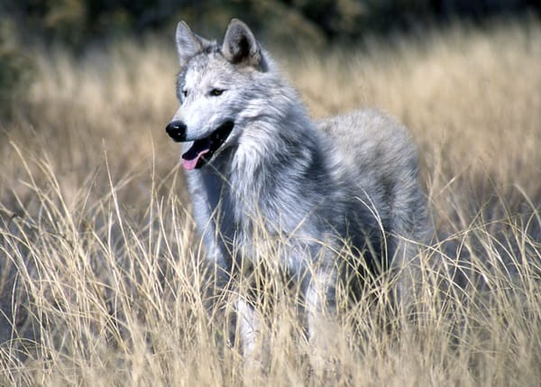 Majestic Gray Wolf Pictures (29)