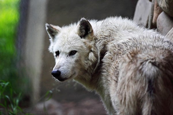Majestic Gray Wolf Pictures (33)
