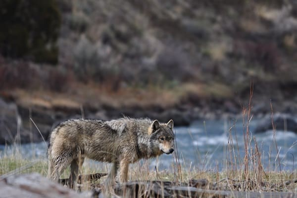 Majestic Gray Wolf Pictures (34)