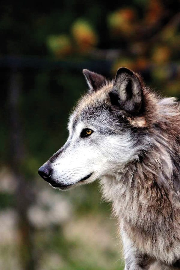 Majestic Gray Wolf Pictures (37)