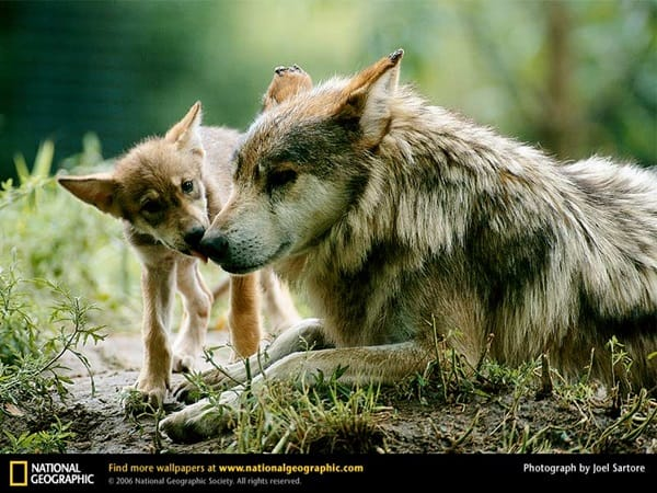 Majestic Gray Wolf Pictures (38)