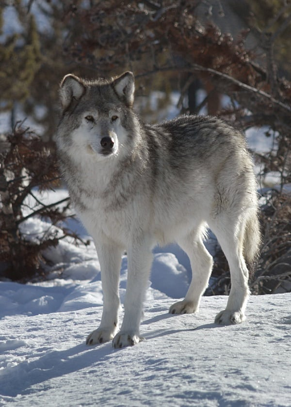 Majestic Gray Wolf Pictures (40)