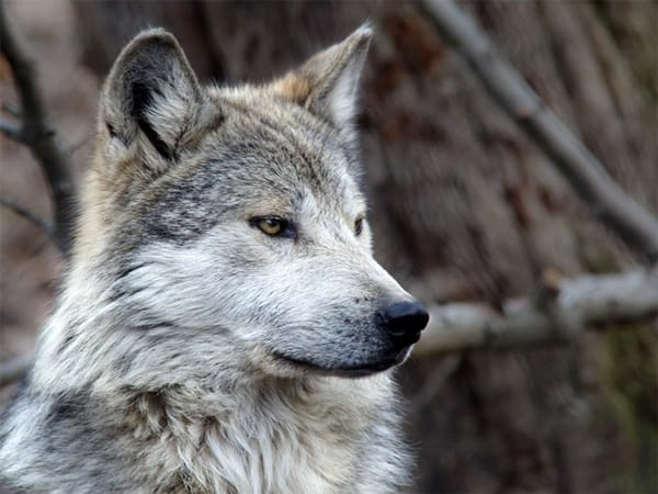 Majestic Gray Wolf Pictures (5)