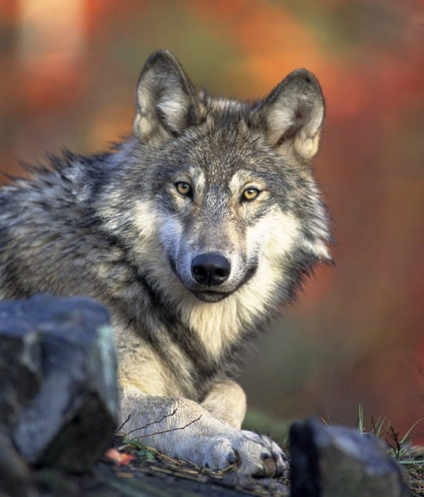 Majestic gray wolf pictures