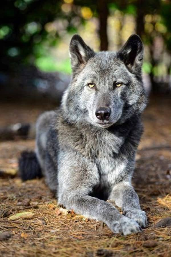 Majestic Gray Wolf Pictures (9)