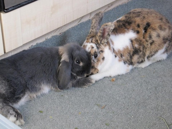 Pet Rabbit Behaviors and Language (2)