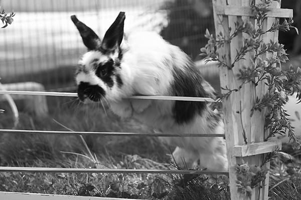 Pet Rabbit Behaviors and Language (3)