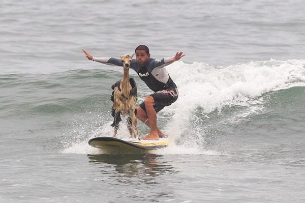 Peru Surfer Alpaca