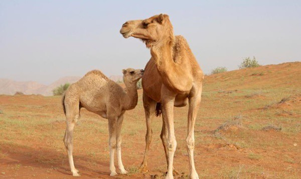 camel facts (1)