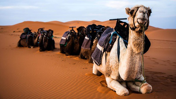 camel facts (4)
