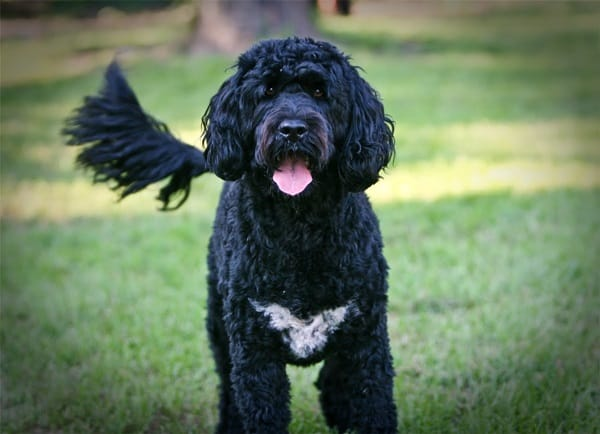 10 Favorite Black Dog Breeds Tail And Fur