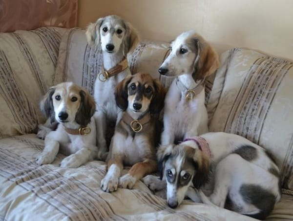 Cute pictures of saluki dogs with puppies (1)
