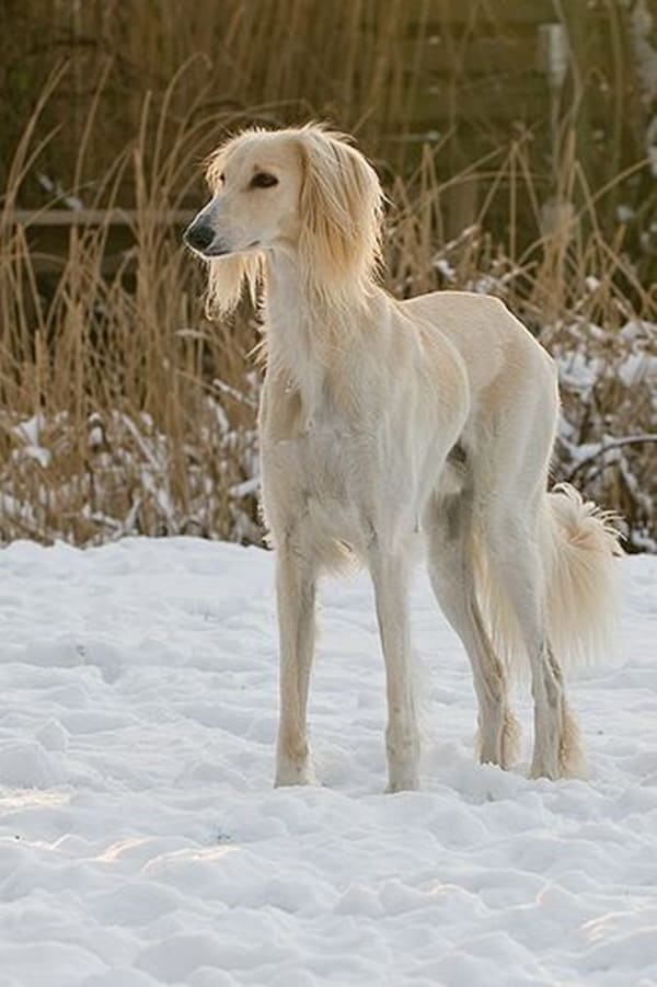 Cute pictures of saluki dogs with puppies (10)