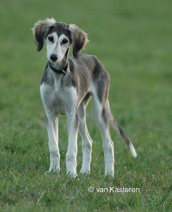 Cute pictures of saluki dogs with puppies (14)