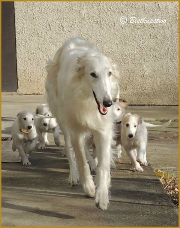 Cute pictures of saluki dogs with puppies (15)