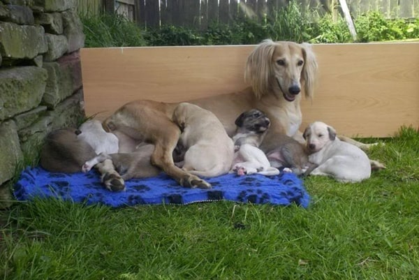 Cute pictures of saluki dogs with puppies (17)