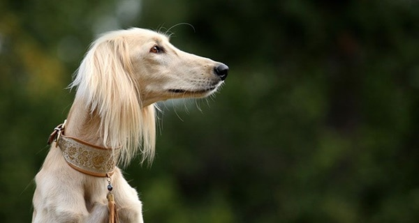 Cute pictures of saluki dogs with puppies (18)