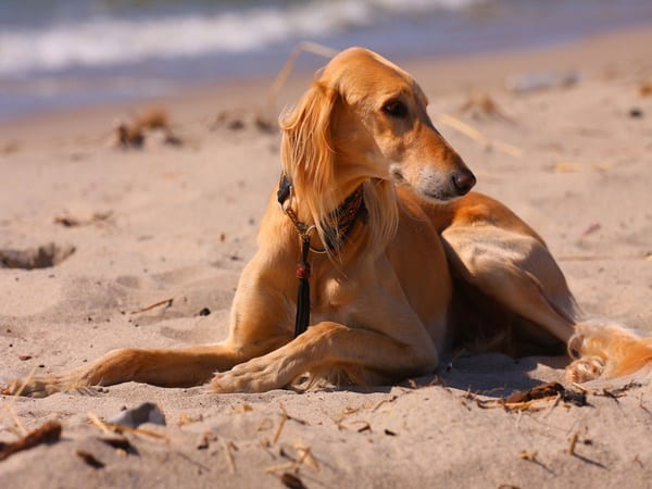 Cute pictures of saluki dogs with puppies (20)