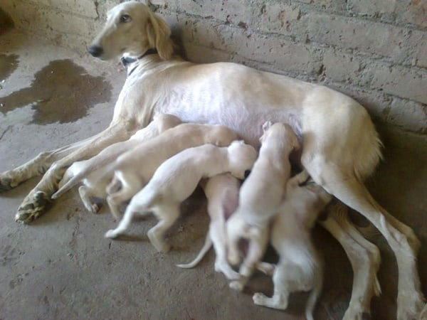Cute pictures of saluki dogs with puppies (21)