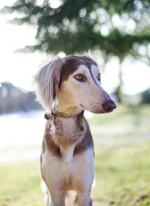 Cute pictures of saluki dogs with puppies (23)
