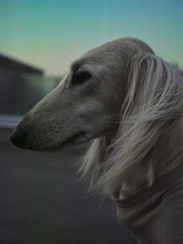 Cute pictures of saluki dogs with puppies (3)