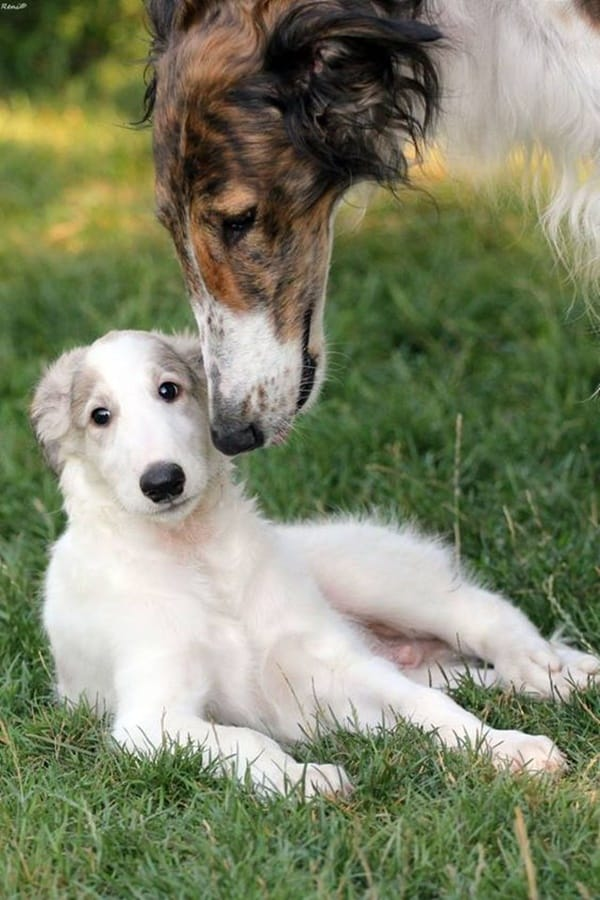 Cute pictures of saluki dogs with puppies (4)