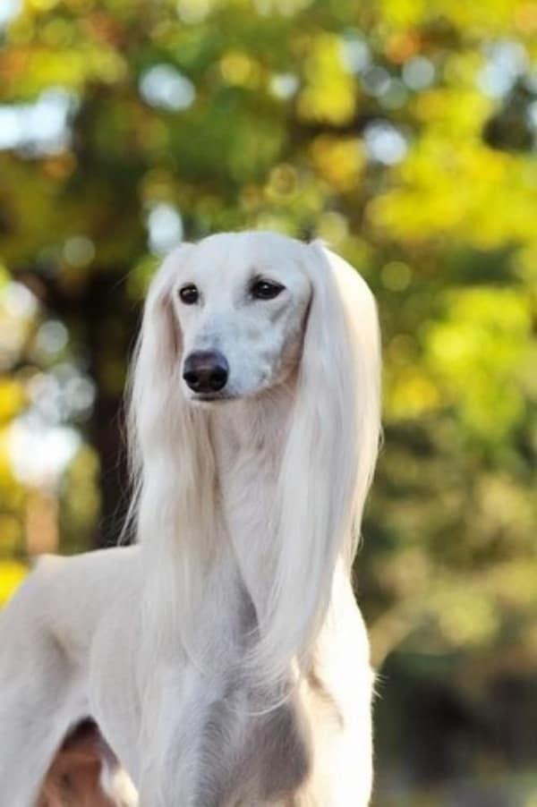 45 Cute Pictures of Saluki Dog with Puppies: Clicks that ...