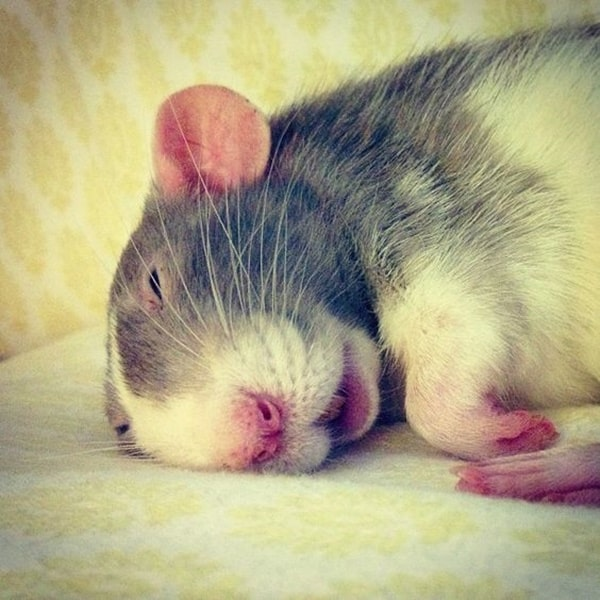 cute rat pictures (10)