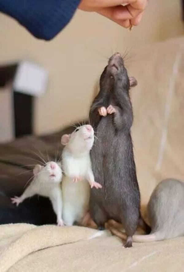 cute rat pictures (13)