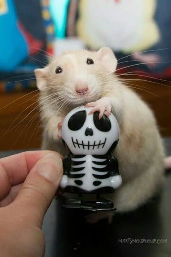 cute rat pictures (16)