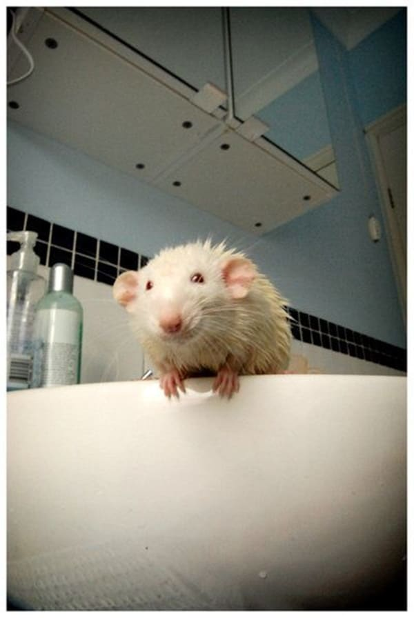 cute rat pictures (17)