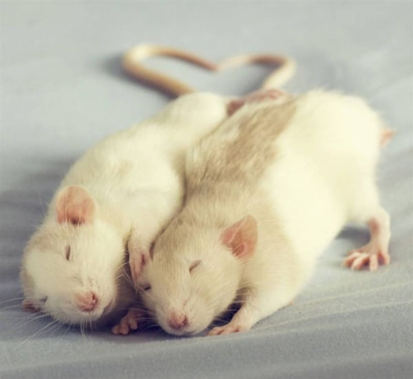 cute rat pictures (21)