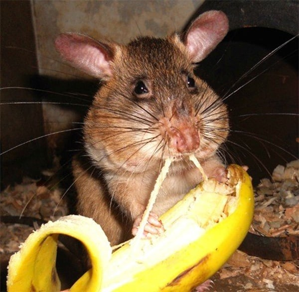 cute rat pictures (23)