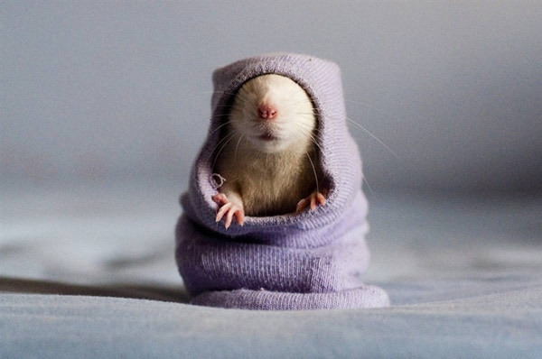 cute rat pictures (24)