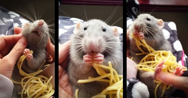 cute rat pictures (29)